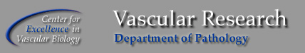 Vascular Research Division, Center for Excellence in Vascular Biology, BWH